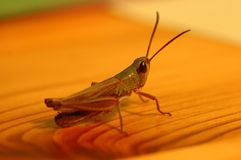 Grasshoppen on the table. Close up of a grasshopper on wooden table stock photo