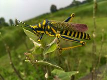 Grasshopper ένα ζωηρόχρωμο έντομο στην άδεια στοκ εικόνα