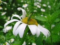 Grasshopper έντομο και chamomile λουλούδι Στοκ εικόνες με δικαίωμα ελεύθερης χρήσης