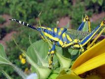 grasshopper ένωση στοκ φωτογραφία