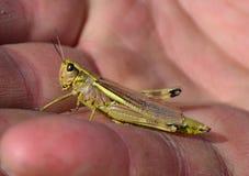 grasshopper λίγα Στοκ Φωτογραφία