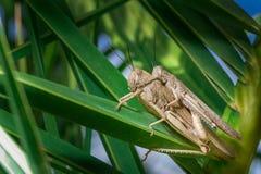 Grasshopper αγάπη Στοκ εικόνα με δικαίωμα ελεύθερης χρήσης