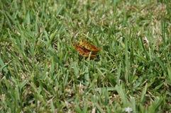 Grasshopper αγάπη Στοκ Εικόνες