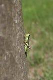 Grasshopper αγάπη Podisma (υπο-) Alpina Στοκ Εικόνες