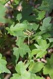 Grasshopper αγάπη Podisma (υπο-) Alpina Στοκ φωτογραφίες με δικαίωμα ελεύθερης χρήσης