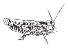 Grasshopper ακρίδα Στοκ Εικόνες