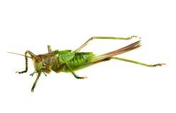 grasshopper ανασκόπησης πέρα από το λ& Στοκ φωτογραφία με δικαίωμα ελεύθερης χρήσης