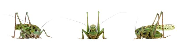 grasshopper απομόνωσε το λευκό Στοκ φωτογραφίες με δικαίωμα ελεύθερης χρήσης
