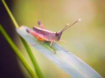 Grasshopper είναι ένας κατάλογος της χλόης Στοκ εικόνες με δικαίωμα ελεύθερης χρήσης