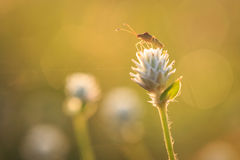 Grasshopper είναι στο λουλούδι χλόης Στοκ εικόνα με δικαίωμα ελεύθερης χρήσης
