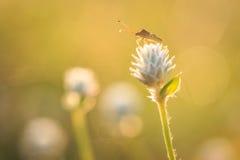 Grasshopper είναι στο λουλούδι χλόης Στοκ φωτογραφία με δικαίωμα ελεύθερης χρήσης