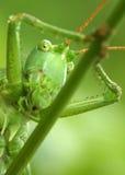 grasshopper ευχάριστα στοκ φωτογραφία με δικαίωμα ελεύθερης χρήσης