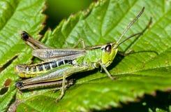 Grasshopper λιβαδιών Στοκ φωτογραφίες με δικαίωμα ελεύθερης χρήσης