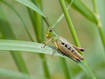 Grasshopper λιβαδιών (parallelus Chorthippus) Στοκ εικόνα με δικαίωμα ελεύθερης χρήσης