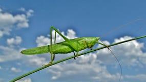 Grasshopper κάθεται σε έναν μίσχο Στοκ Εικόνα