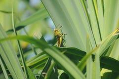 grasshopper κάλαμοι Στοκ εικόνα με δικαίωμα ελεύθερης χρήσης