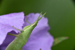 grasshopper κήπων λαχανικό παρασίτων Στοκ Εικόνα