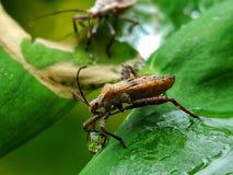 Grasshopper κακής μυρωδιάς Στοκ Εικόνες