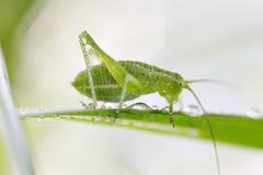 grasshopper κατανάλωσης Στοκ εικόνα με δικαίωμα ελεύθερης χρήσης