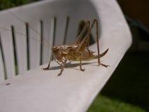 Grasshopper καφετί στην πλαστική καρέκλα στοκ εικόνες
