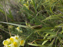 Grasshopper καλύπτεται με την αλλαγή του χρώματός του σε πράσινο Στοκ εικόνες με δικαίωμα ελεύθερης χρήσης