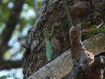 Grasshopper, κεντρική Ιάβα Ινδονησία στοκ εικόνα