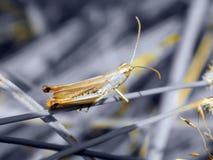 Grasshopper κινηματογράφηση σε πρώτο πλάνο στενό στον επάνω χλόης Στοκ Φωτογραφίες