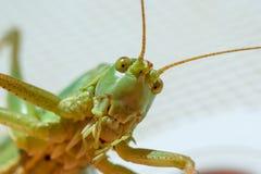 Grasshopper κινηματογράφηση σε πρώτο πλάνο Στοκ Φωτογραφίες