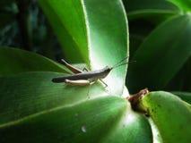Grasshopper κινηματογραφήσεων σε πρώτο πλάνο (apricarius Chorthippus) στο φύλλο Στοκ Φωτογραφία