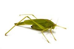 grasshopper κινηματογραφήσεων σε & Στοκ εικόνα με δικαίωμα ελεύθερης χρήσης