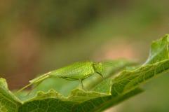 grasshopper κολοκύθα φύλλων Στοκ φωτογραφίες με δικαίωμα ελεύθερης χρήσης