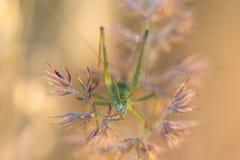 Grasshopper κρύψιμο στη χλόη με τη δροσιά πρωινού Στοκ Φωτογραφίες