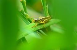 Grasshopper κρύψιμο στον κήπο Στοκ Εικόνες
