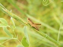 grasshopper κλαδίσκος Στοκ Φωτογραφίες