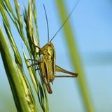 grasshopper λεπίδων Στοκ Φωτογραφία