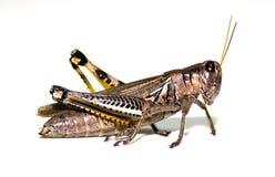 grasshopper λευκό Στοκ Φωτογραφίες