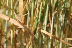 Grasshopper μακροεντολή στοκ εικόνες