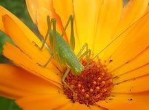 grasshopper μαργαριτών Στοκ εικόνα με δικαίωμα ελεύθερης χρήσης