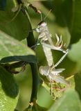 Grasshopper μεταβαλλόμενο δέρμα Στοκ Εικόνες