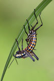 Grasshopper μεταμόρφωση Στοκ φωτογραφίες με δικαίωμα ελεύθερης χρήσης