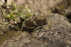 Grasshopper με μια ενιαία κεραία στοκ φωτογραφίες