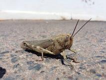 Grasshopper μπροστινή άποψη Στοκ φωτογραφία με δικαίωμα ελεύθερης χρήσης