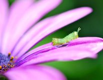 Grasshopper μωρών στο πορφυρό λουλούδι Στοκ Εικόνα