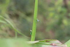 Grasshopper μωρών στο Bladygrass στοκ εικόνες