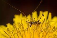 Grasshopper μωρών Στοκ Φωτογραφία
