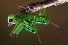 Grasshopper   να έρθει σε σεξουαλική επαφή Στοκ Φωτογραφίες