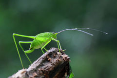 Grasshopper να σκαρφαλώσει Στοκ φωτογραφία με δικαίωμα ελεύθερης χρήσης