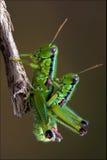 Grasshopper ορθόπτερη κατοχή Στοκ φωτογραφία με δικαίωμα ελεύθερης χρήσης
