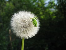 grasshopper πικραλίδων Στοκ Εικόνες