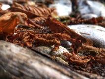 Grasshopper που κρύβεται μεταξύ των ξηρών φύλλων πεσμένος από τα δέντρα Στοκ Εικόνες